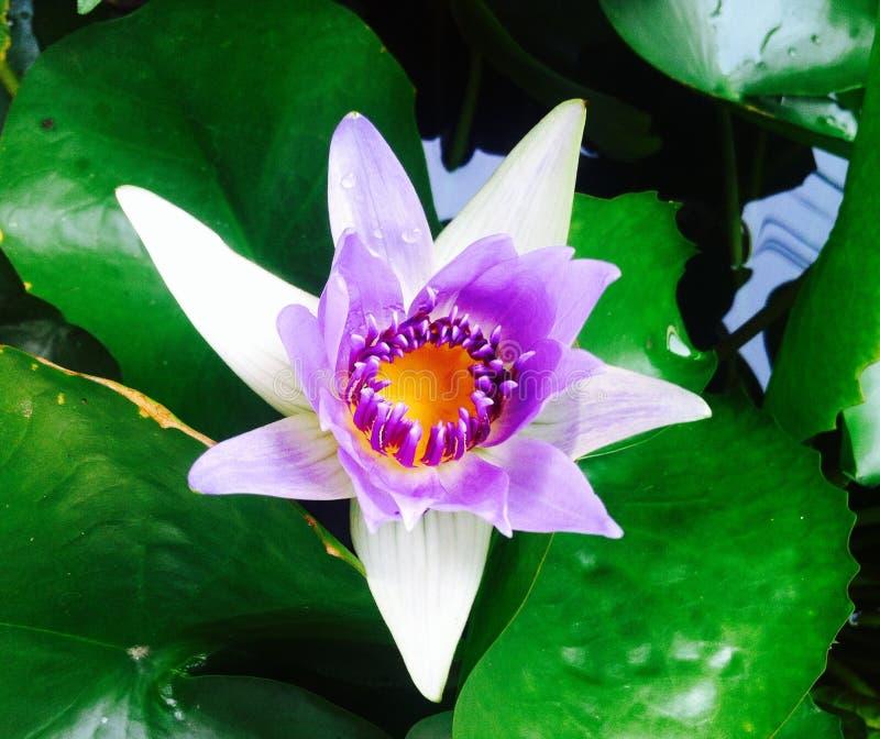 lotos stockfotografie