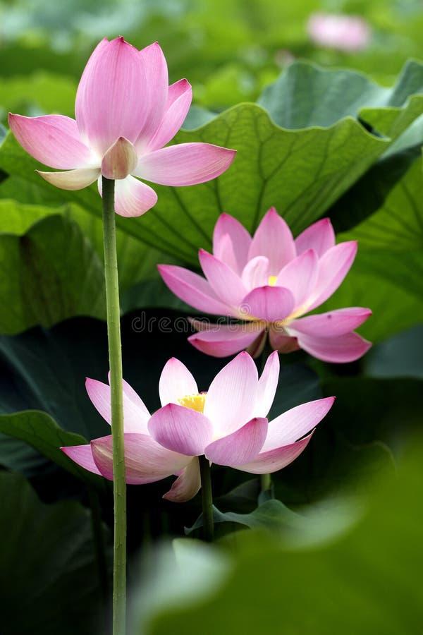 lotos zdjęcia stock