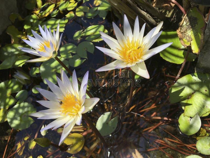 Lotos azules y hojas de un loto en una charca en día soleado, remiendos de la luz y sombras en el agua, insectos en lotos fotos de archivo libres de regalías