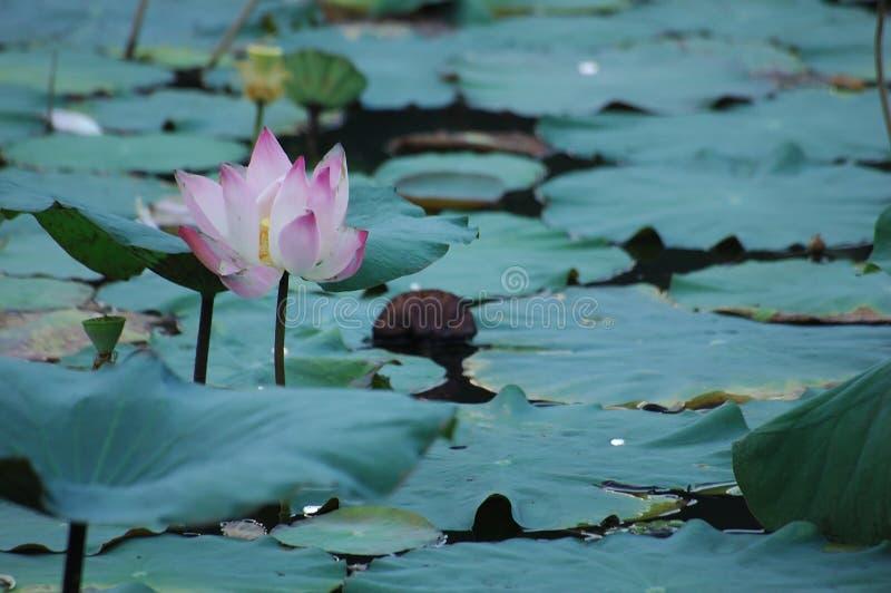 Lotos-Blume stockfotos