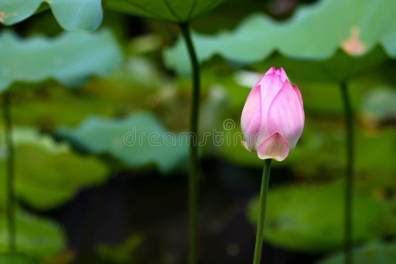 Lotos-Blume in der vollen Blüte stockbilder