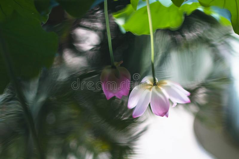 Lotos-Blume in der vollen Blüte stockfotos