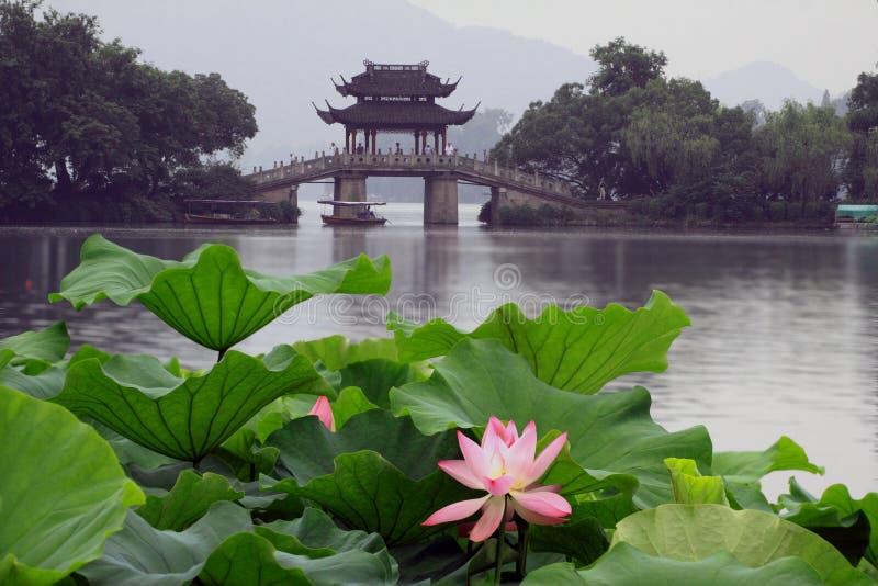 Lotos im Westsee, Hangzhou stockfotos