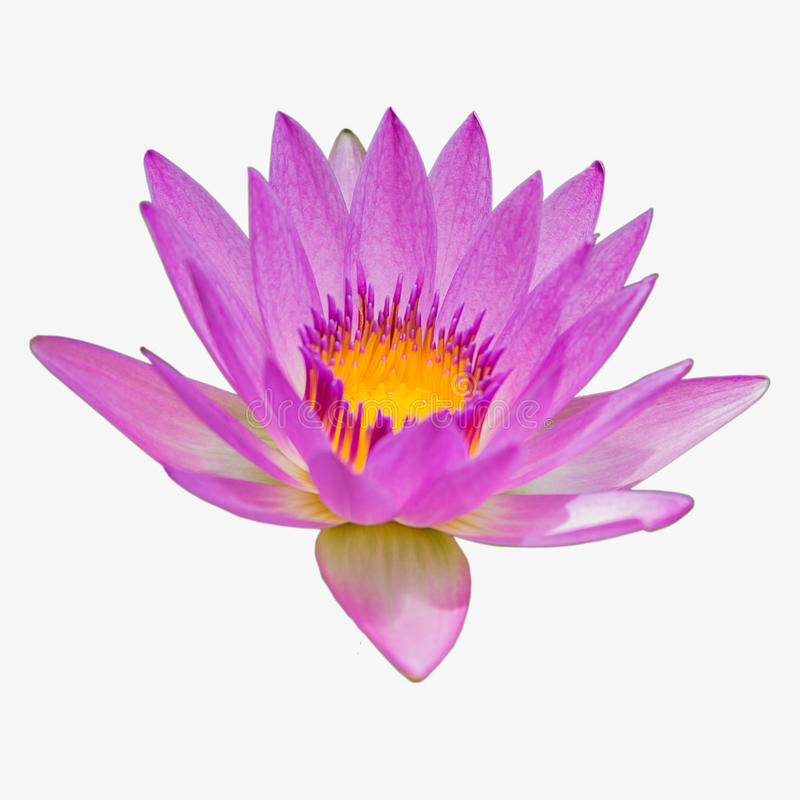 lotos kwitnące menchie fotografia stock