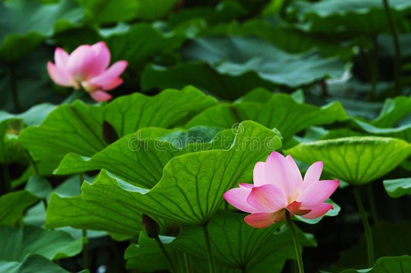 lotos liści fotografia stock