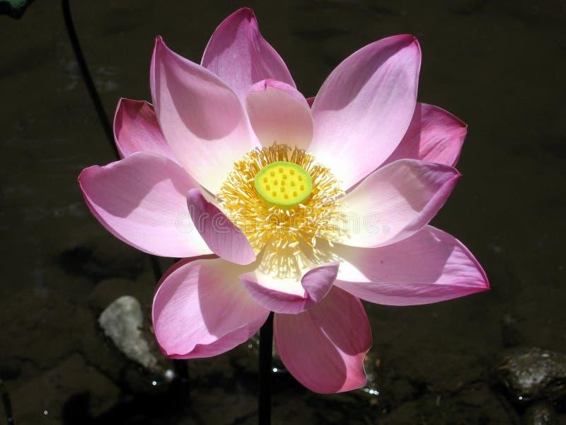 lotos na bali, zdjęcie stock