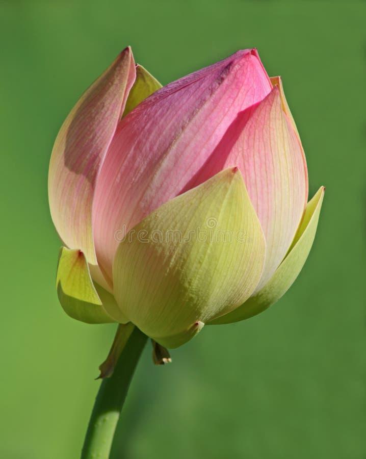 lotos nowy kwiat zdjęcia royalty free