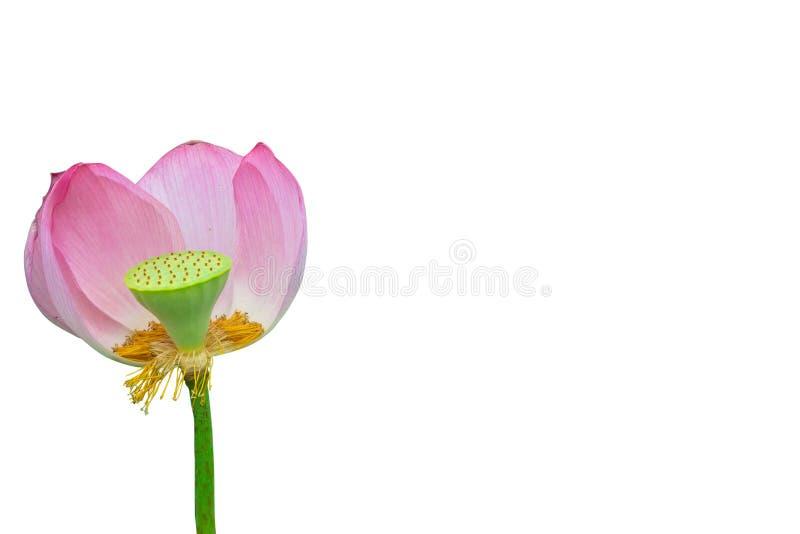 lotos odosobnione menchie fotografia stock