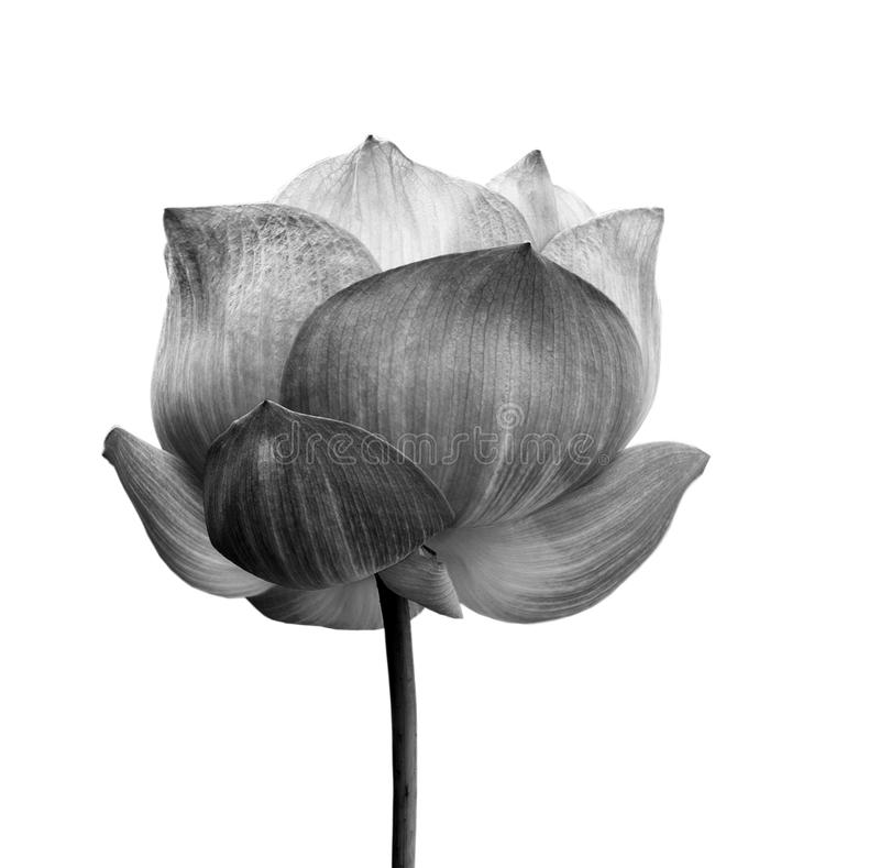 Lotosblume in Schwarzweiss getrennt lizenzfreies stockbild