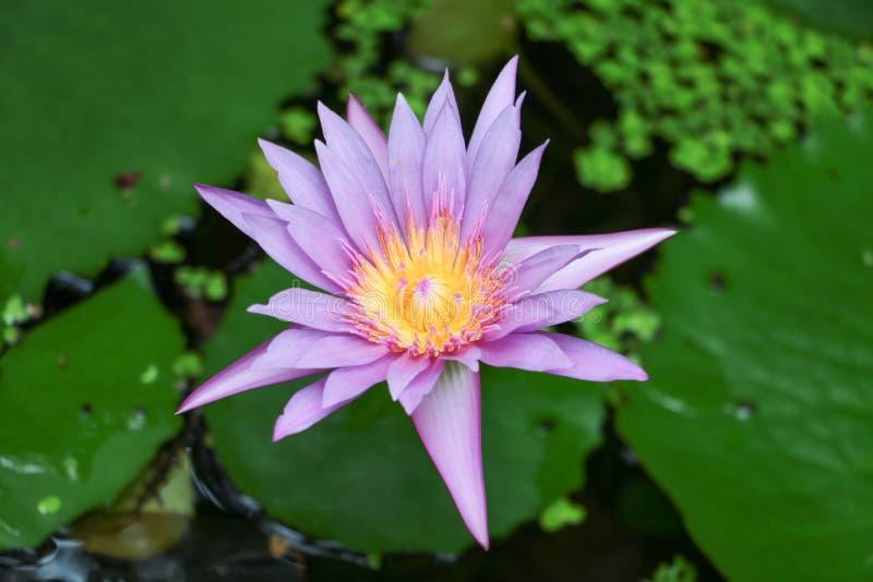 Lotosblume und -blätter stockfoto