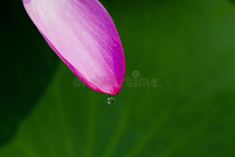 Lotosblumenblatt auf Blatt lizenzfreies stockfoto