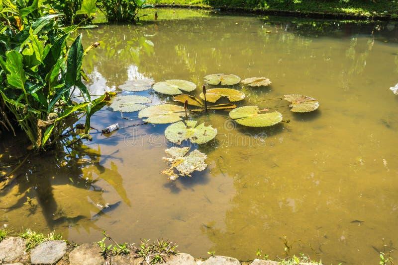 Lotosowa lub wodna leluja na stawie z zieleni wody fotografią brać w Kebun Raya Bogor Indonezja fotografia stock