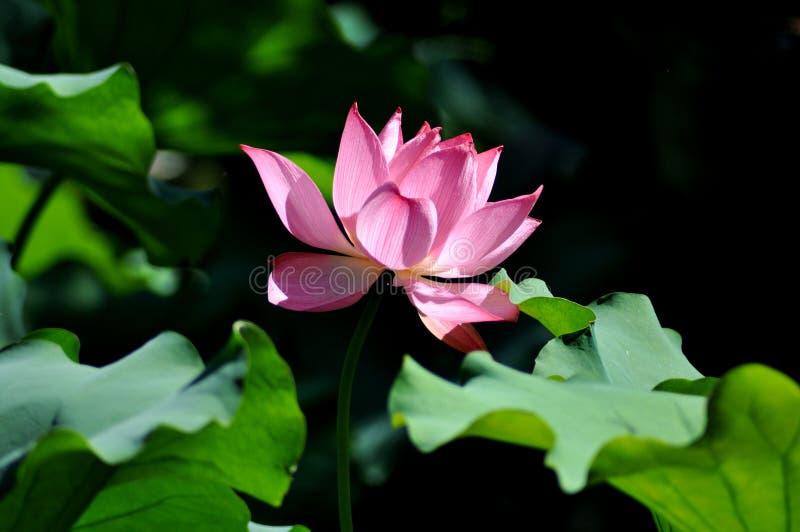 Lotosowego kwiatu festiwal w Yuanmingyuan parku obrazy stock