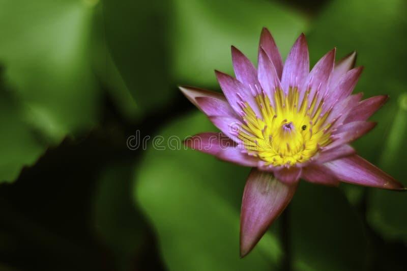 Lotosowego kwiatu i zieleni tło zdjęcie royalty free