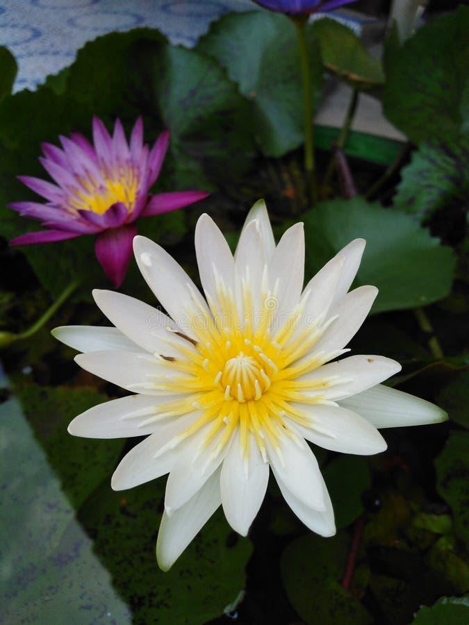 Lotosowego kwiatu kwiat zdjęcia stock