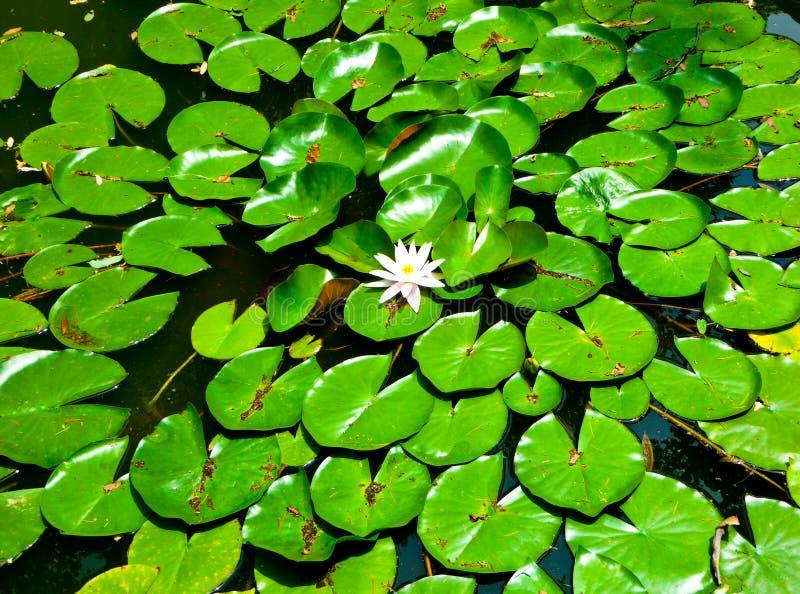 Lotosowego kwiatu kwiecenie na Laoshan górze obraz stock