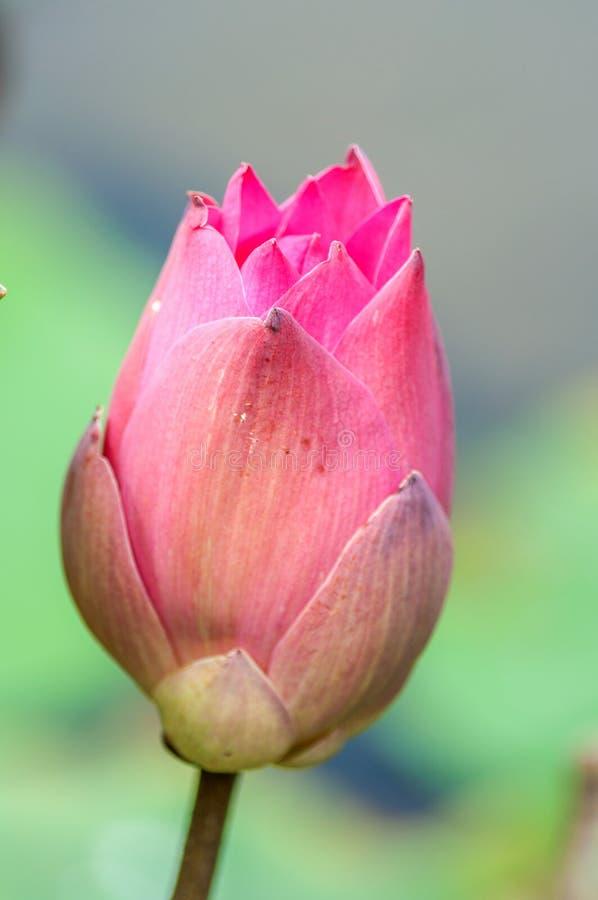 Lotosowego kwiatu kwitnienie fotografia royalty free