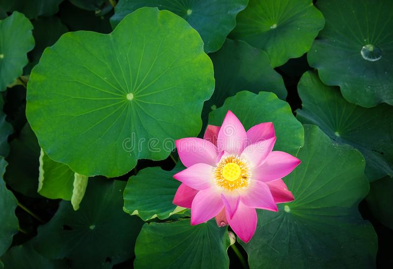 Lotosowego kwiatu kwitnienie przy lato czasem obraz royalty free