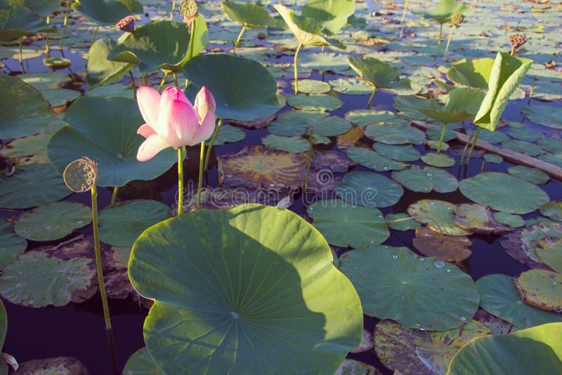 Lotosowego kwiatu okwitnięcie na jeziorze blisko Almaty, Kazachstan Beauti zdjęcie royalty free