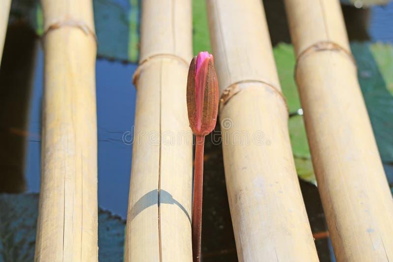 Lotosowego kwiatu pączka dorośnięcie Przez Bambusowego doku na Lotosowym stawie obraz royalty free