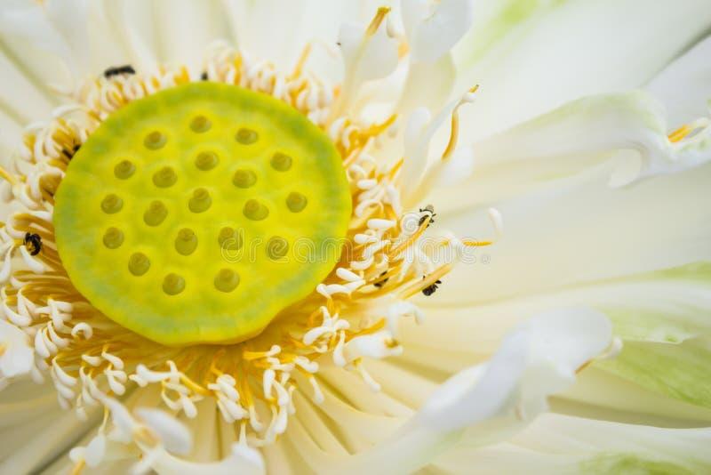Lotosowego kwiatu tło obrazy royalty free