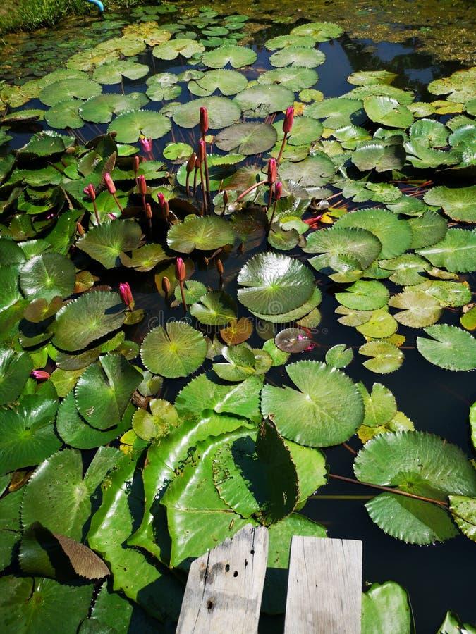 Lotosowego stawu kwiatu pączka zieleni liście zdjęcie stock