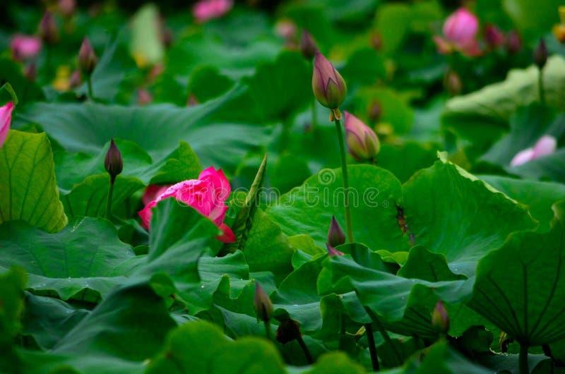 Lotosowi kwiaty i staw zdjęcia royalty free
