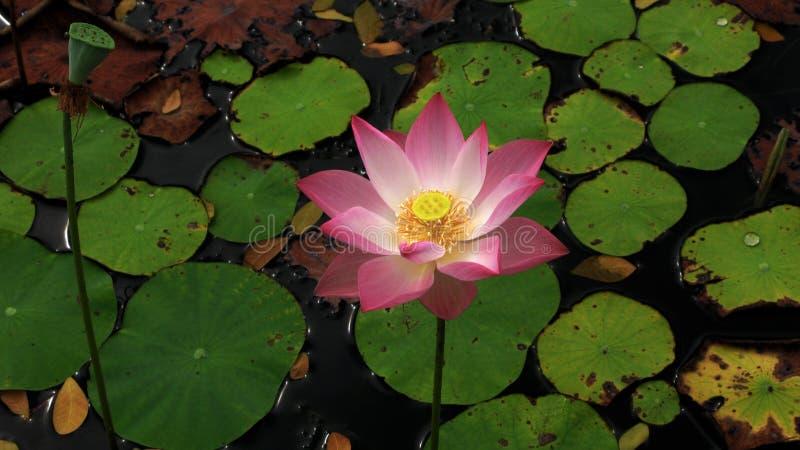 Lotosowi kwiaty kwitną od czarnego jeziora i jeziora obrazy royalty free