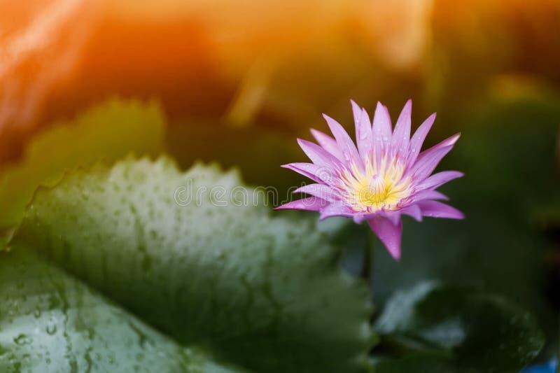 Lotosowi kwiaty kwitną w ranku po deszczu obraz royalty free