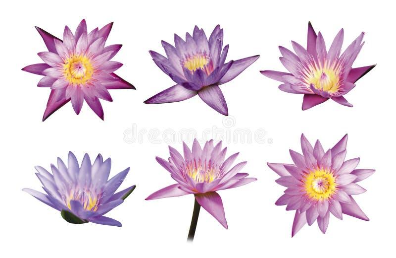 Lotosowi kwiaty odizolowywający na białym tle zdjęcie royalty free