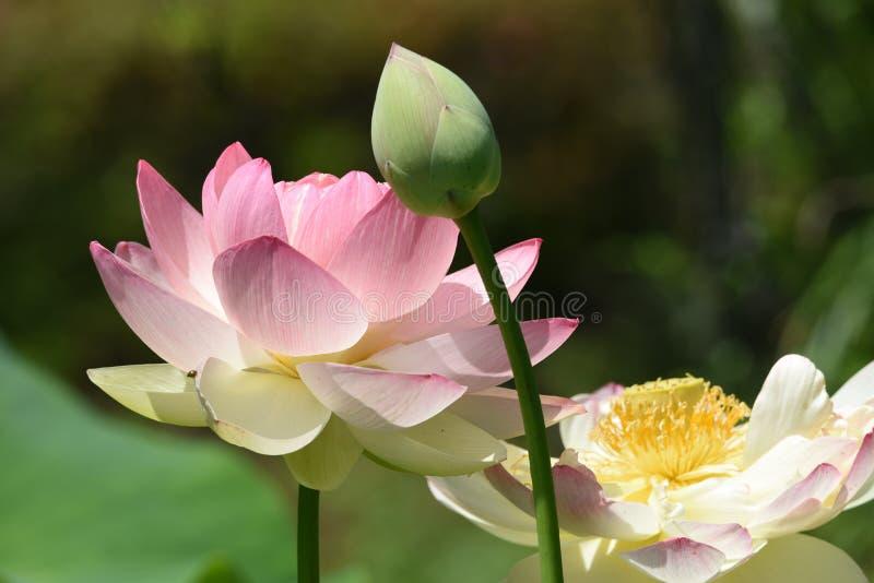 Lotosowi kwiaty fotografia stock