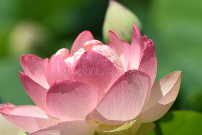 Lotosowi kwiaty zdjęcia stock