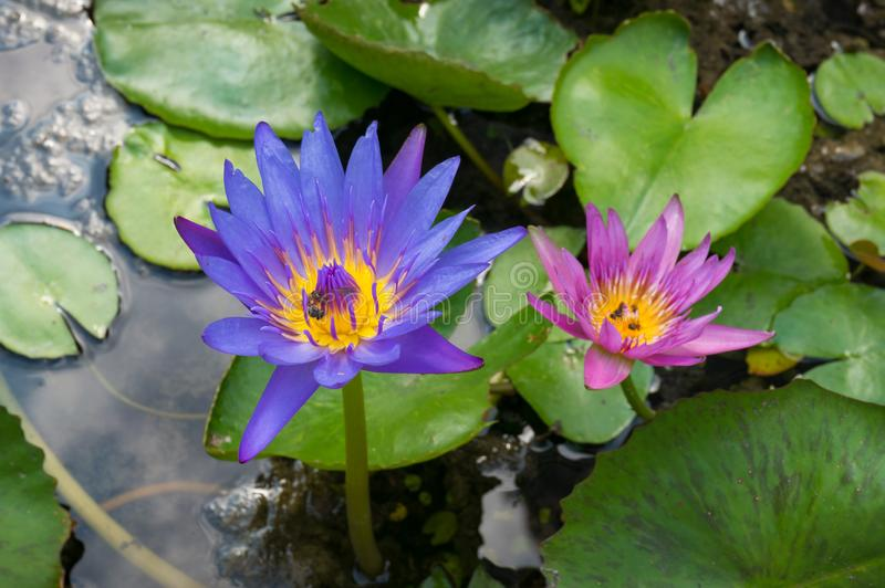 Lotosowi kwiaty w kwiacie, menchiach i purpurowym wodnej lelui kwiatów tle, obrazy stock