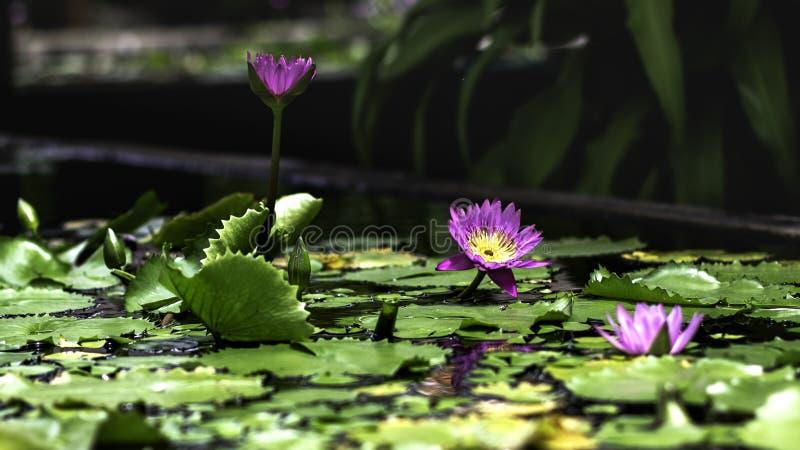 Lotosowi kwiaty w ogródzie obrazy royalty free