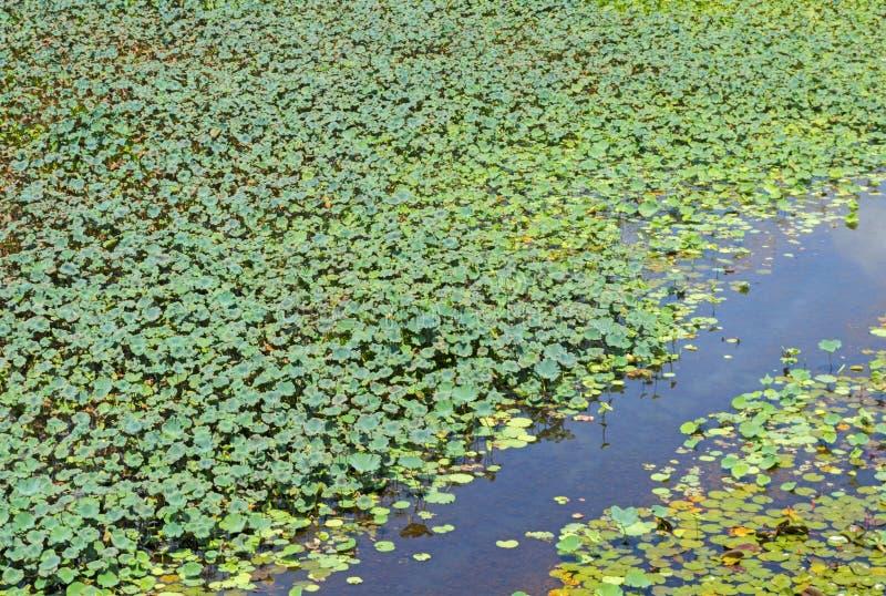 Lotosowi liście zdjęcia royalty free