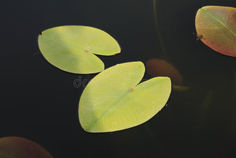 Lotosowi liście Unosi się na wodzie, strzał brać od above, urlop nad jeziorem w parku zdjęcie royalty free
