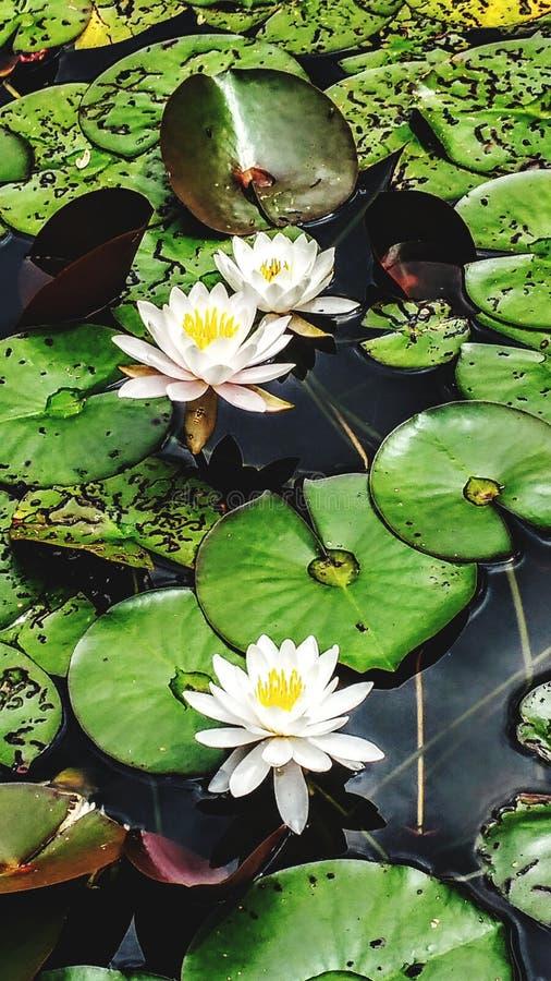 Lotosowi okwitnięcia fotografia stock