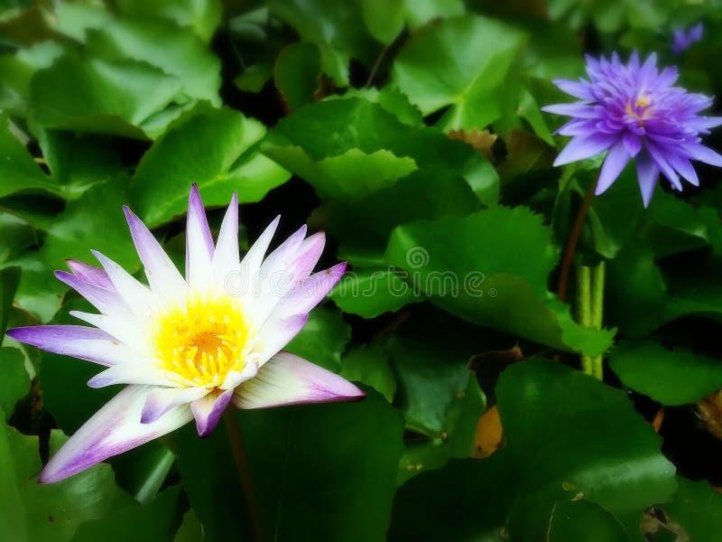 Lotosowi piękni zieleni purpurowi kwiatu ogródu naturalni wakacje podróżują wycieczkę zdjęcia royalty free