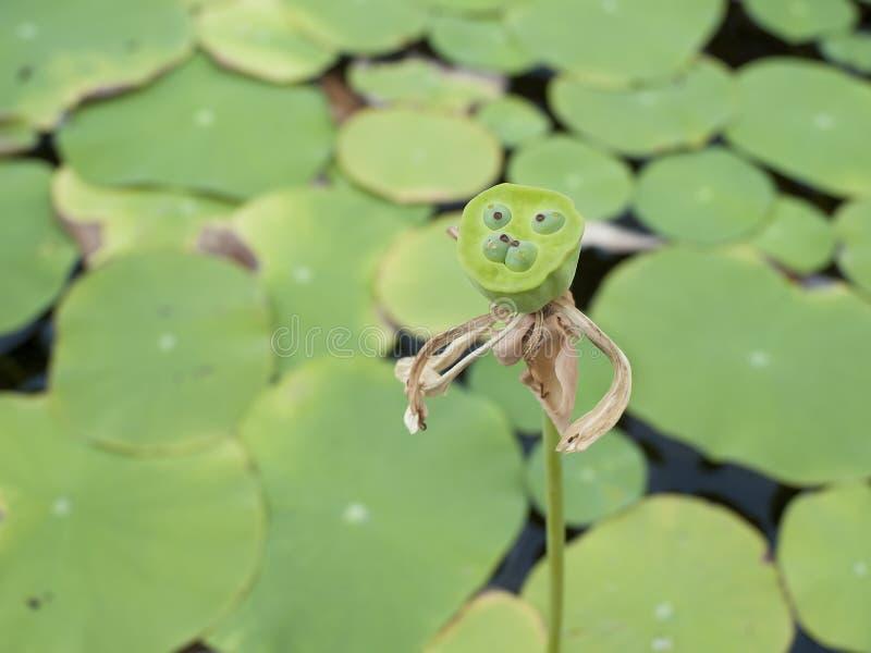 Lotosowi strąki są owoc lotos fotografia royalty free