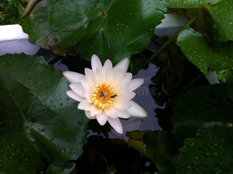 Lotosowy białego kwiatu nadwodny kolor żółty fotografia royalty free