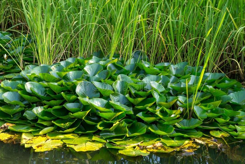 Lotosowy biały wodnej lelui liści round grupowy okrąg na jezioro oddzielnej jarzynowej wyspy kwiecistym projekcie fotografia royalty free