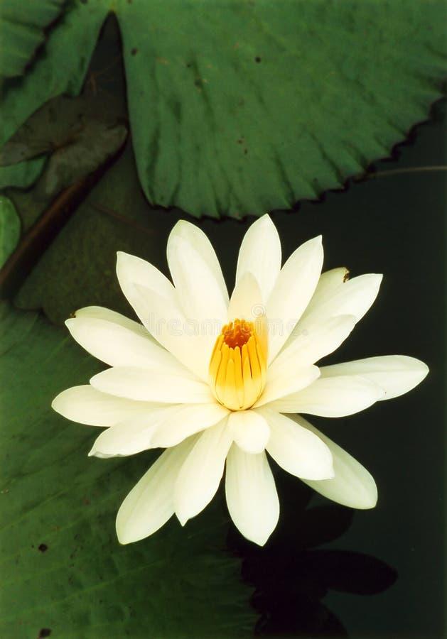 lotosowy biel zdjęcia stock