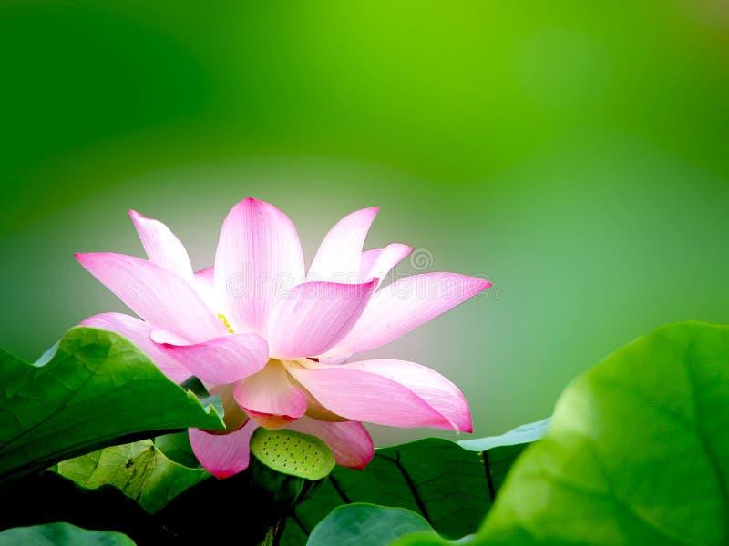 lotosowy biel obraz royalty free