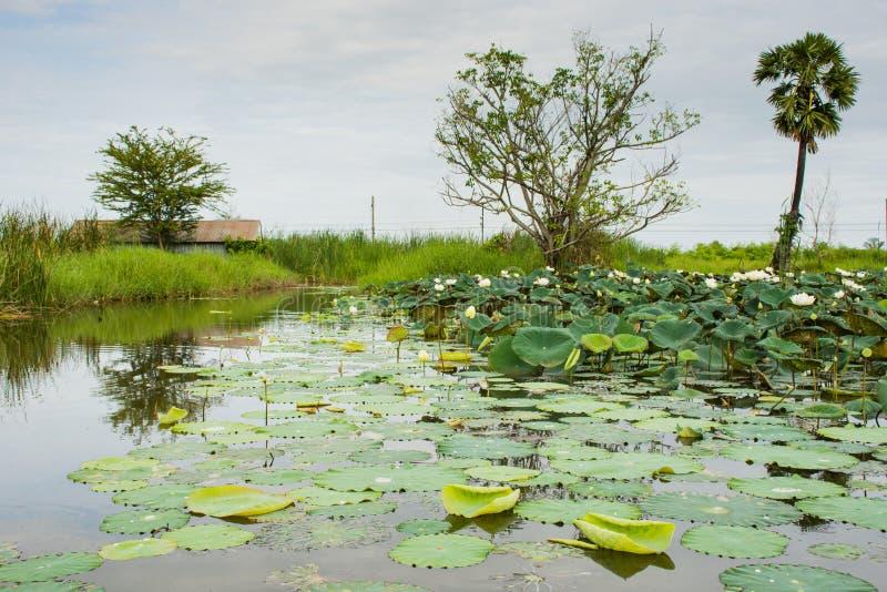 Lotosowy jezioro obrazy royalty free