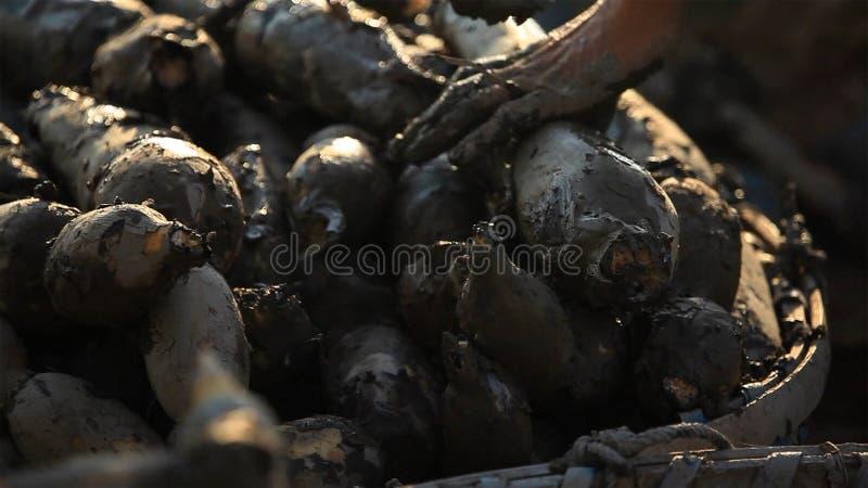 Lotosowy korzeń z błotem od produkcja terenu zdjęcia stock