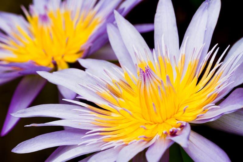Lotosowy kwiat zdjęcie royalty free