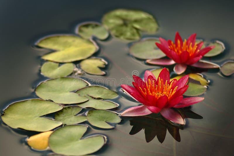 Lotosowy kwiat zdjęcia royalty free