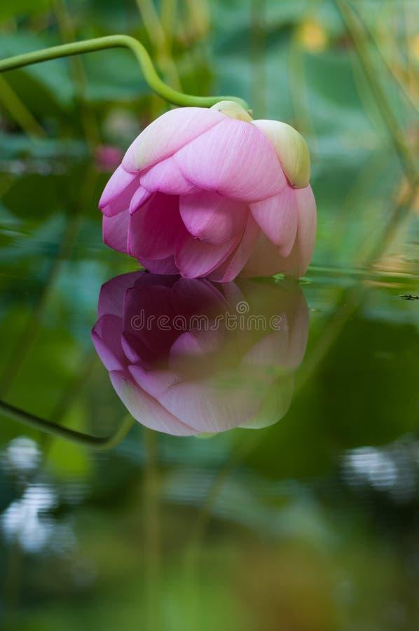 Lotosowy kwiat obraz stock