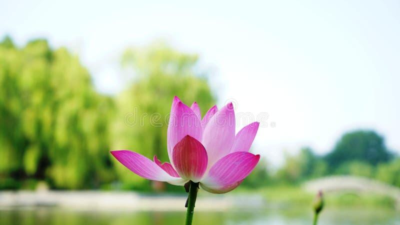 Lotosowy kwiat i pączek jesteśmy w rzece zdjęcie royalty free