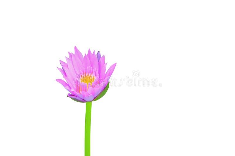 Lotosowy kwiat lub menchie piękni z ścinek ścieżką odizolowywającą na białej ścieżce lilly tła i ścinku obrazy royalty free